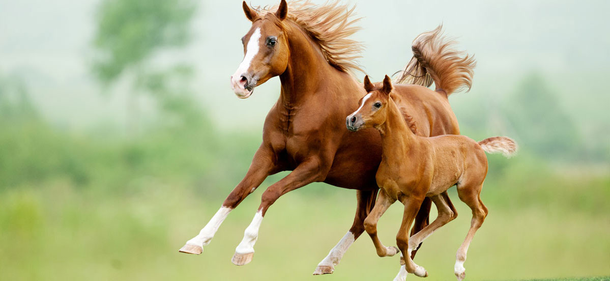 Fallen Tree Ranch | Tennessee Walking Horse Sales | 208-484-5115