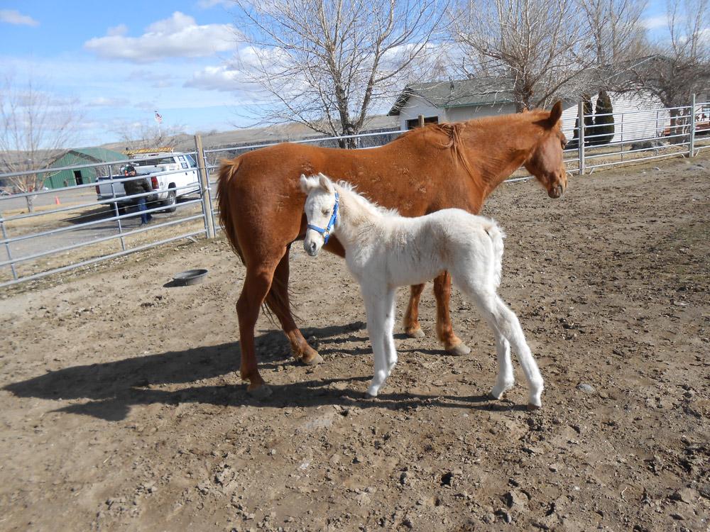 Fallen Tree Ranch   Tennessee Walking Horse Sales   208-484-5115