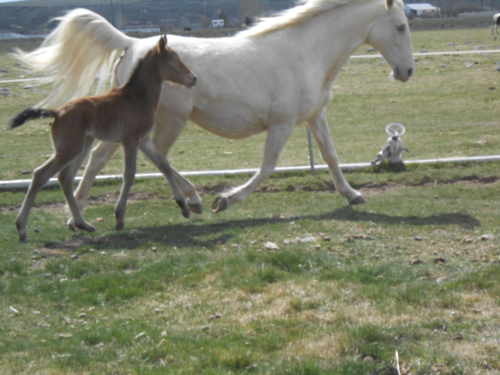 Fallen Tree Ranch | Tennessee Walking Horse Sales | 208-484-5115